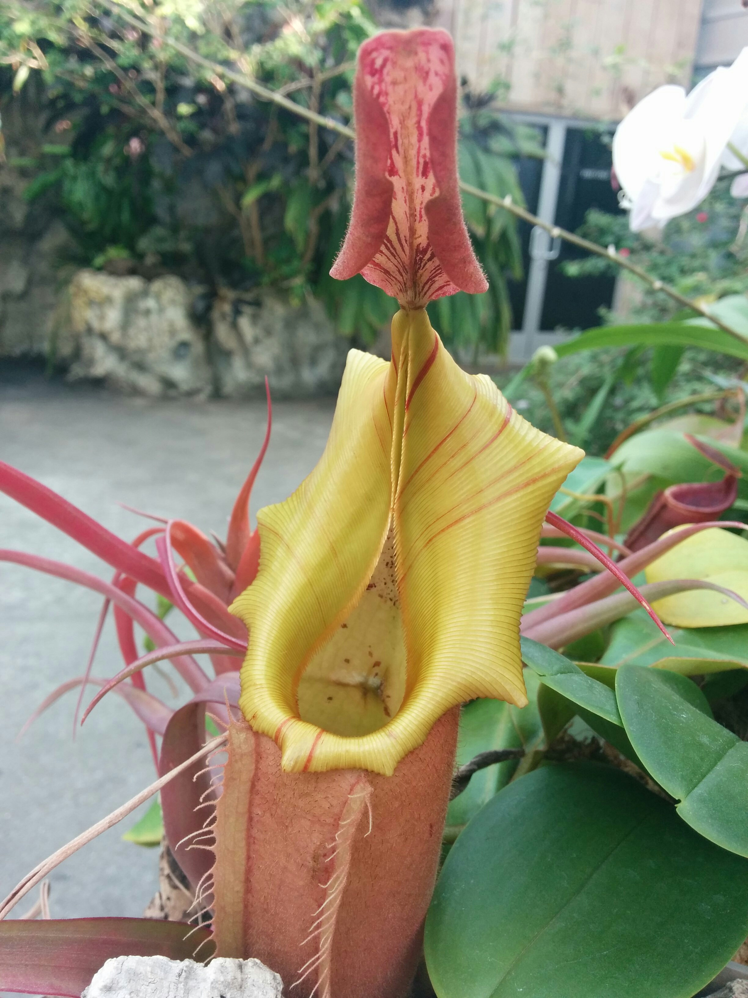 Pitcher plant in botanic garden